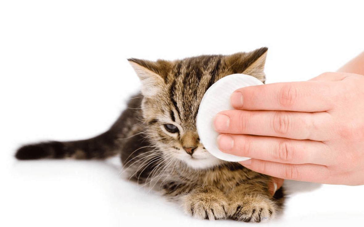 Лечение конъюнктивита у кошек в Киеве