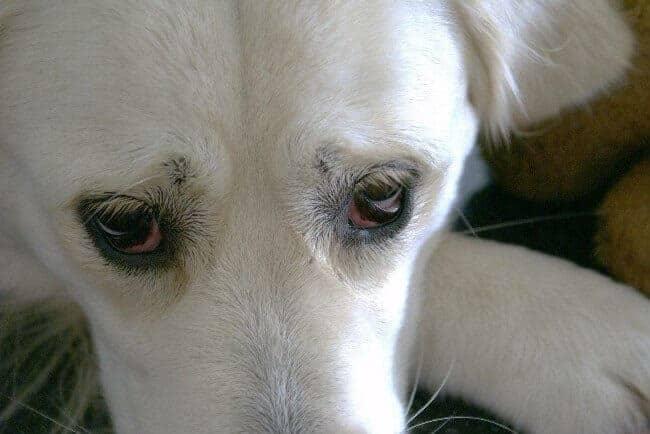 Лечение конъюнктивита у собак