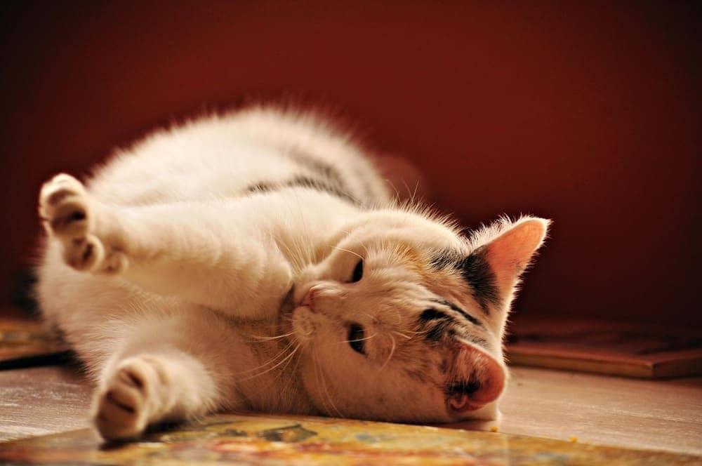 Лечение пиометры у кошек в Киеве